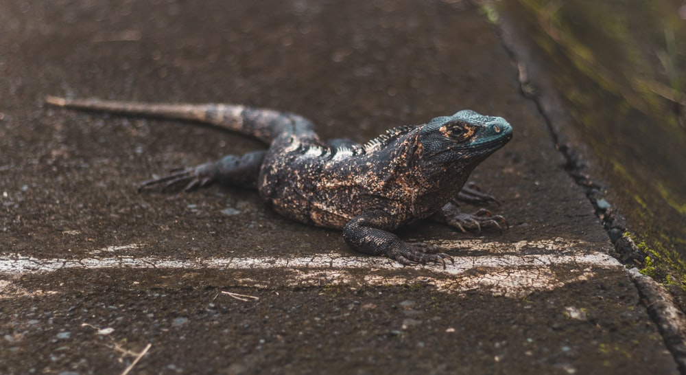 black and white lizard on brown wood