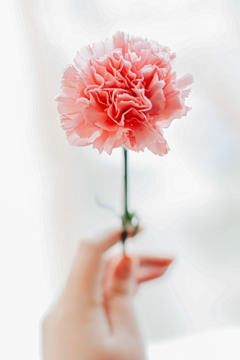 person holding pink rose in close up photography