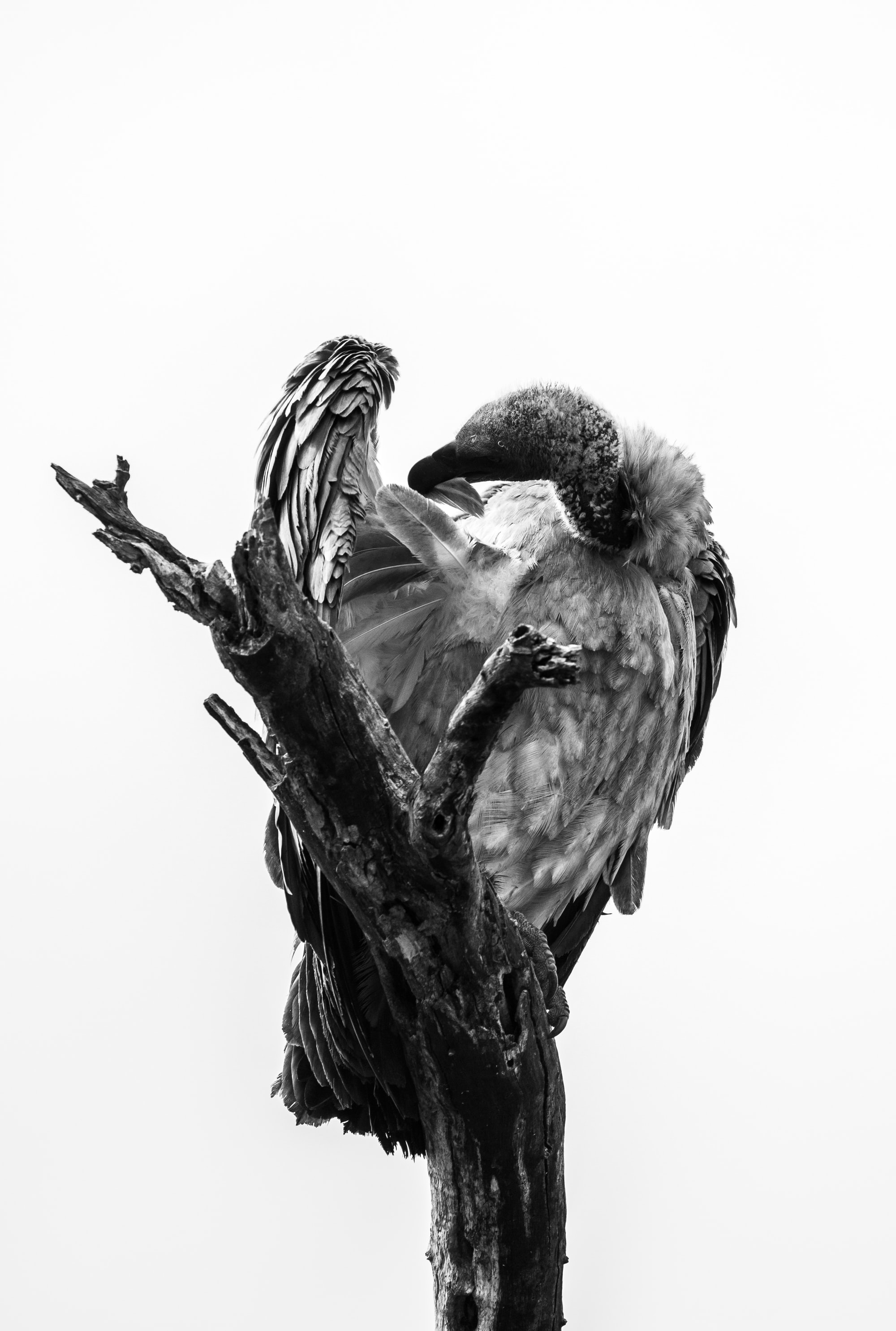 Vulture in high-key black and white style.