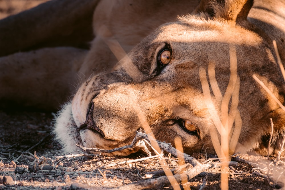 brown lion lying on ground covered with snow during daytime