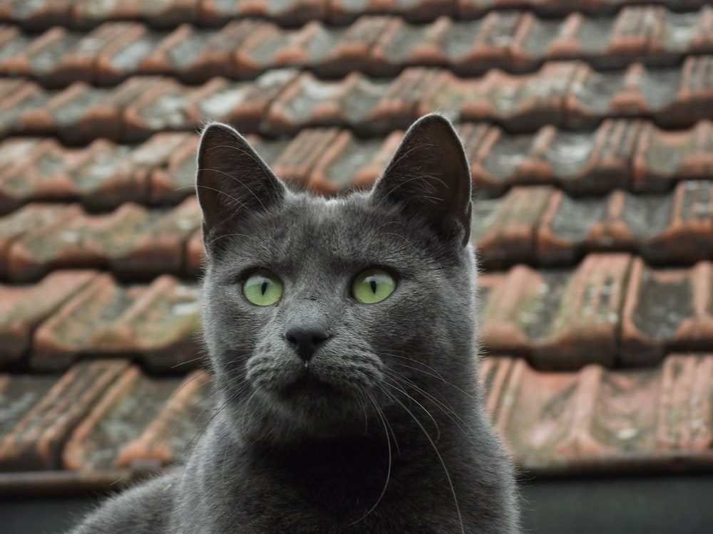 russian blue cat on brown roof