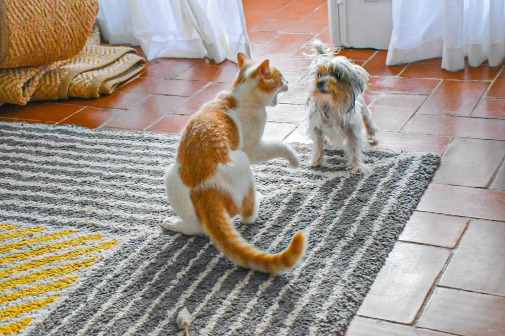 orange and white cat on gray carpet