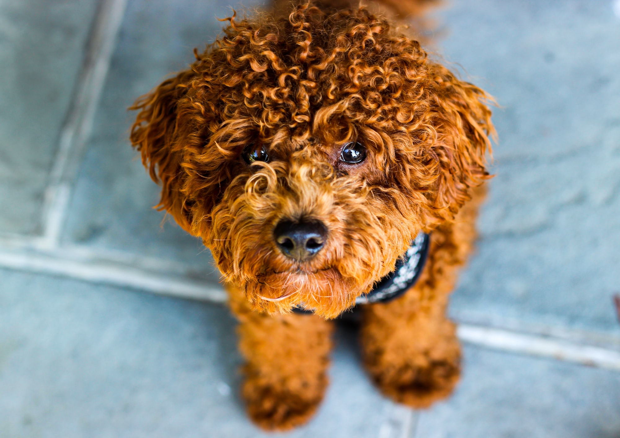 Why You Should Have a Poodle in Your Life