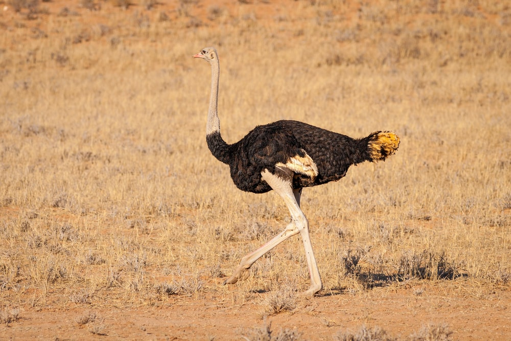 black and white ostrich on brown grass field during daytime
