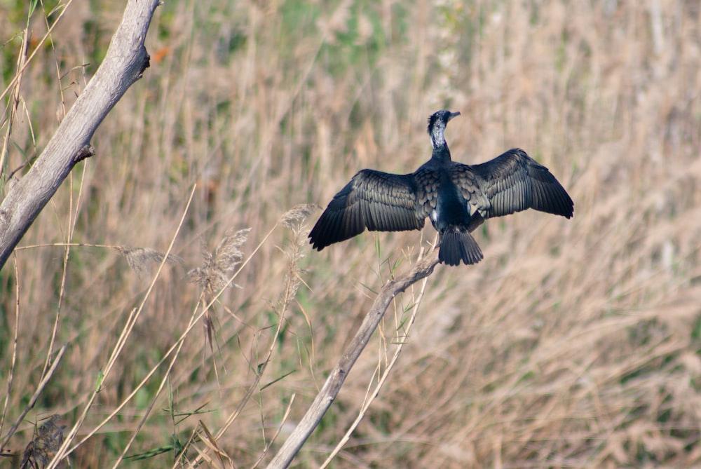 black bird flying over brown grass during daytime
