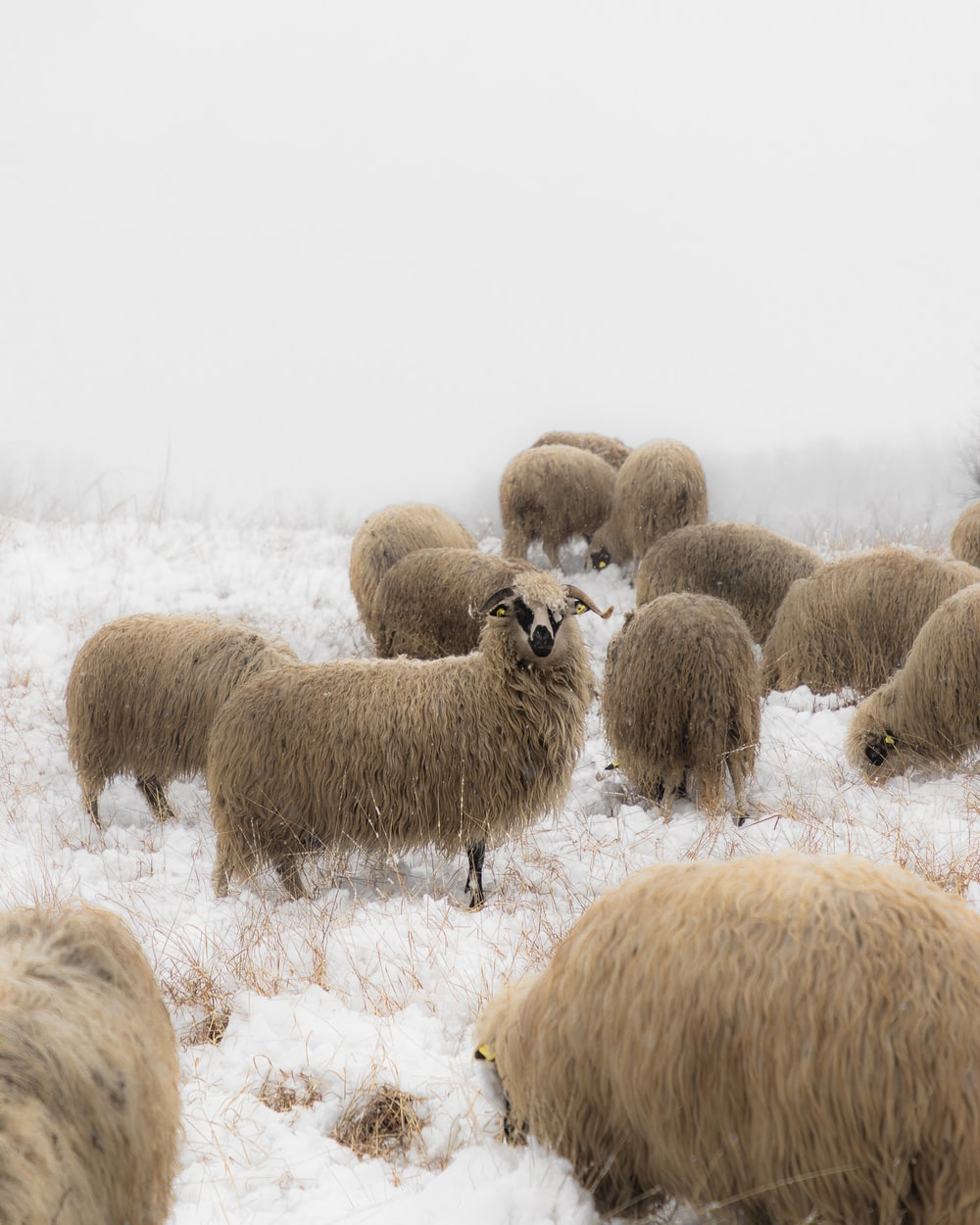herd of sheep on snow covered field during daytime