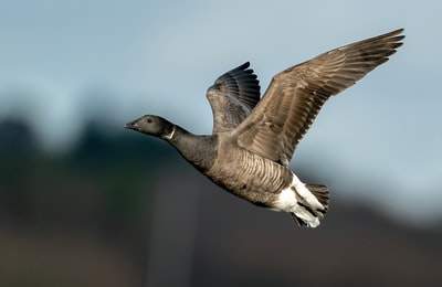 Brent brown and white duck flying
