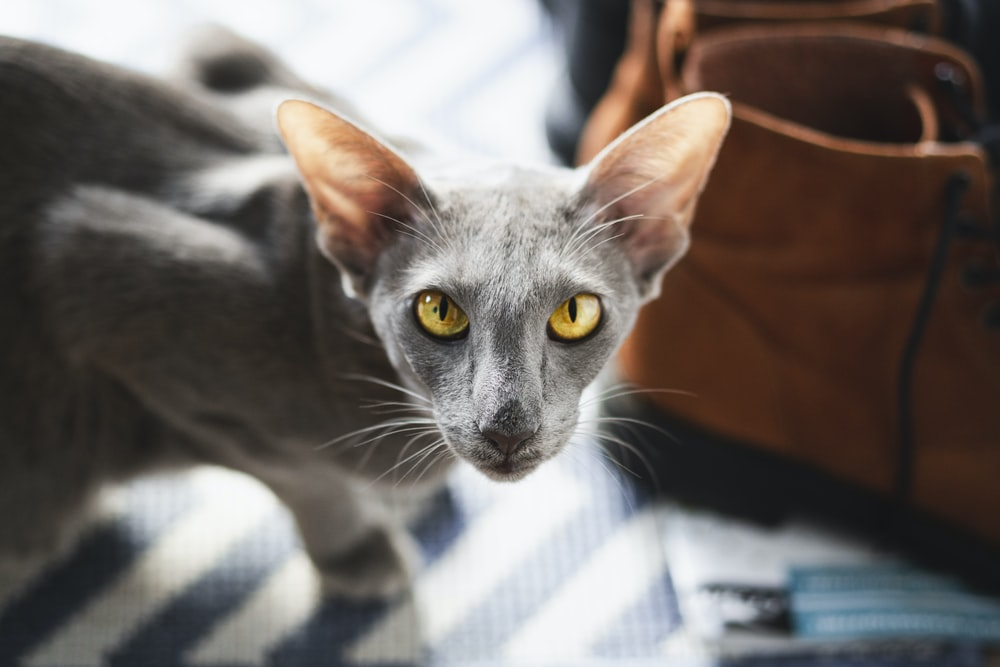 russian blue cat on white and blue checkered textile