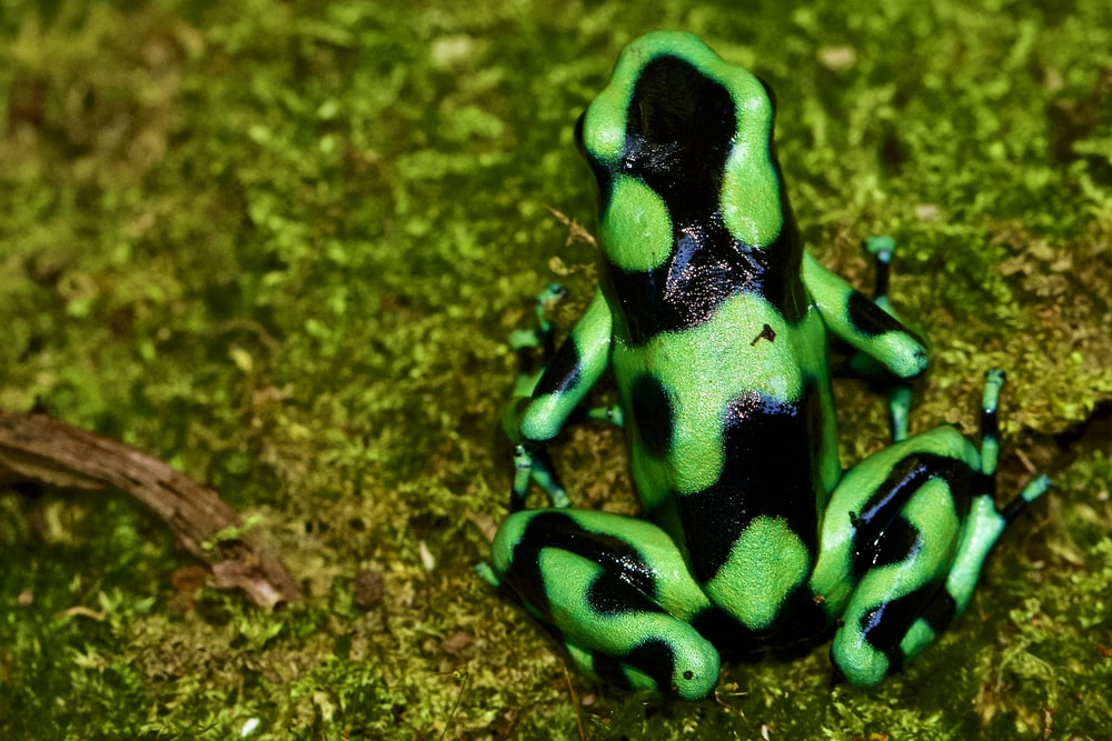 green and black frog on brown surface