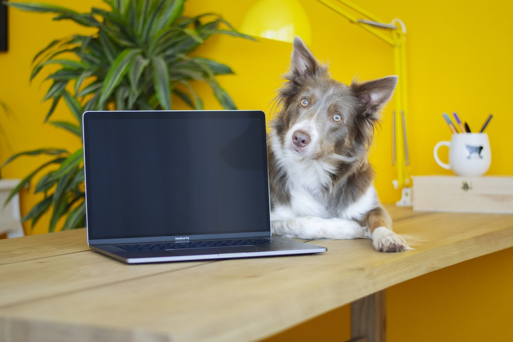 black and white border collie puppy beside black laptop computer on brown wooden table