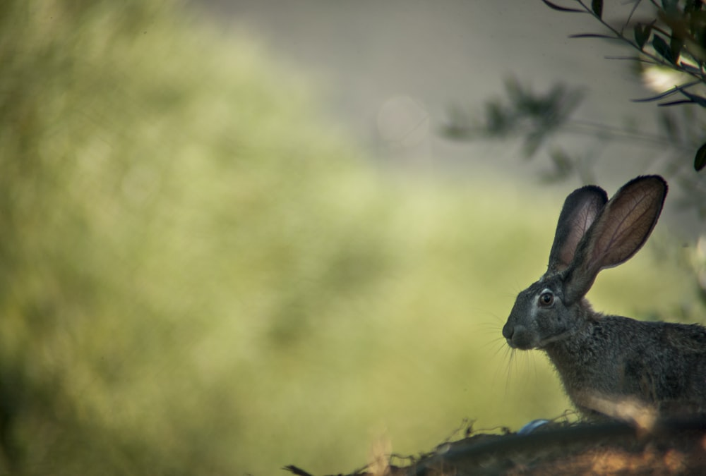 brown rabbit on brown grass during daytime