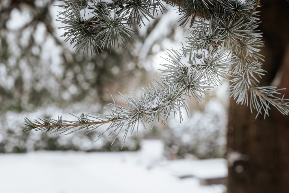 green pine tree covered with snow