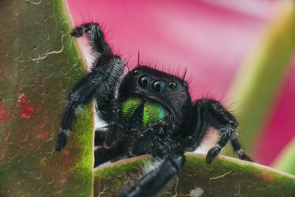 black jumping spider on green leaf in macro photography