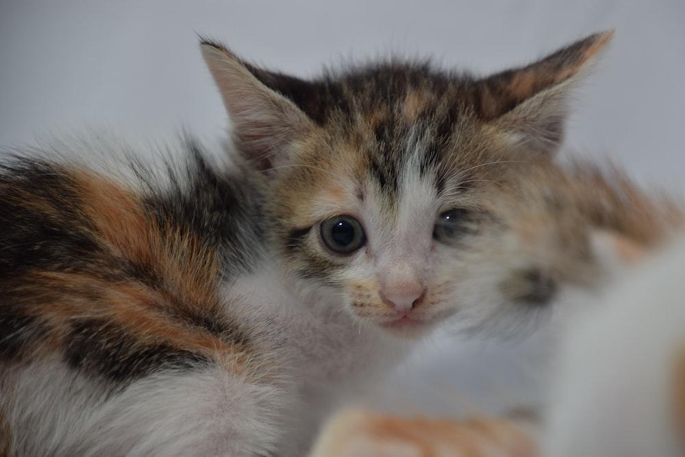 brown white and black kitten