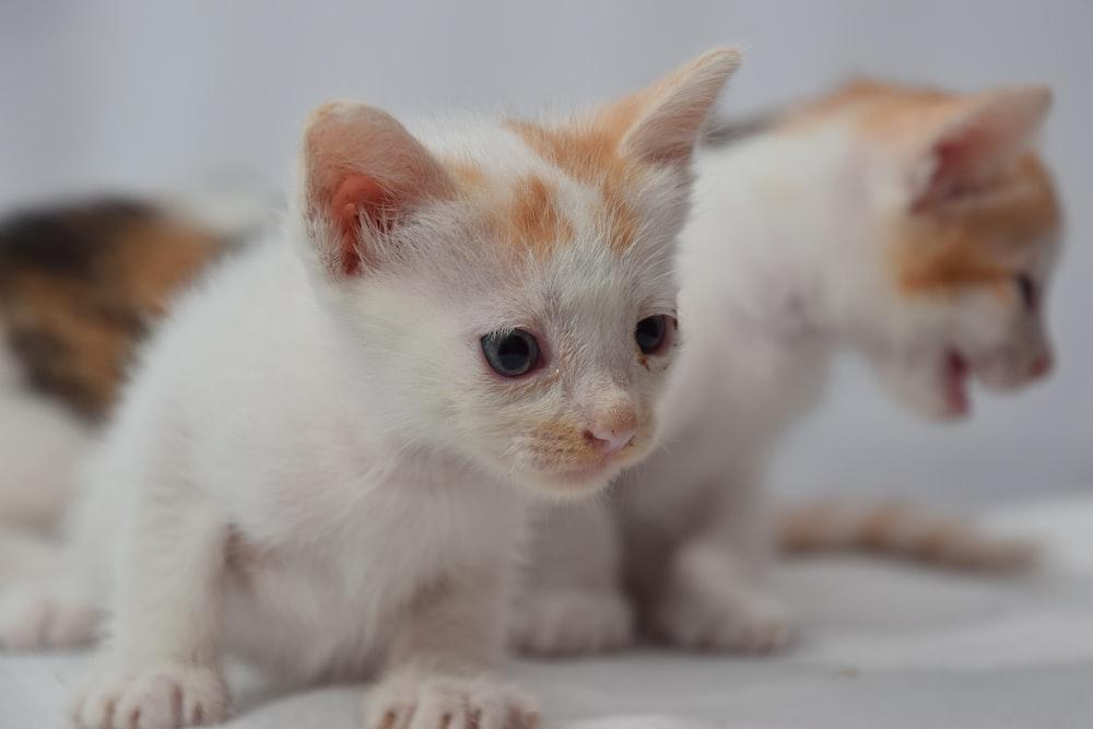 white and orange kitten on white textile