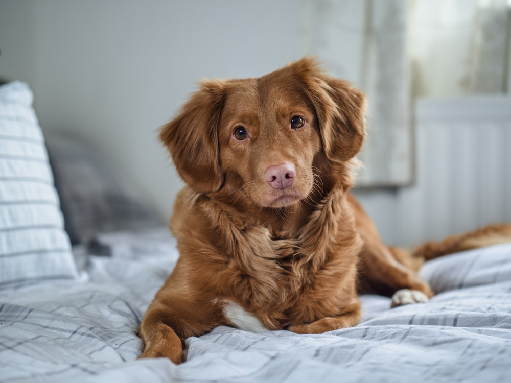 brown long coated dog on white textile
