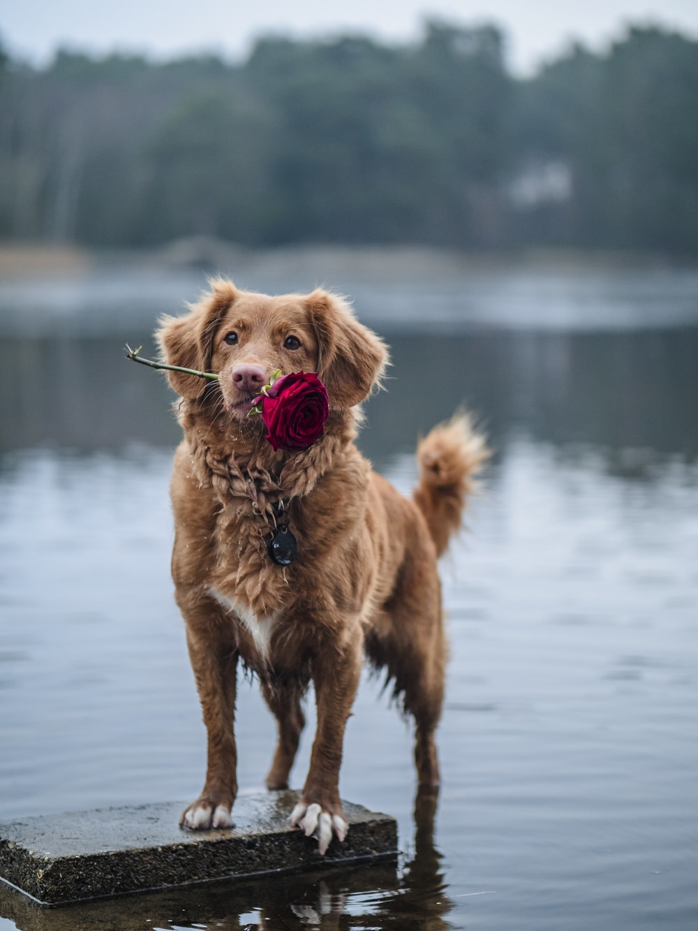 brown short coated dog on water during daytime