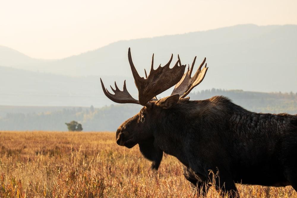 black moose on brown grass field during daytime