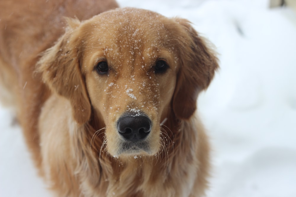 golden retriever on snow covered ground during daytime
