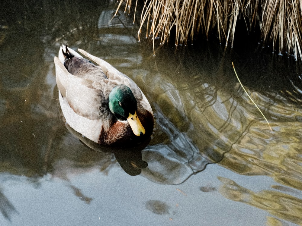 white and green duck on water