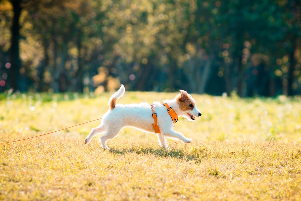 white and brown short coated dog running on green grass field during daytime