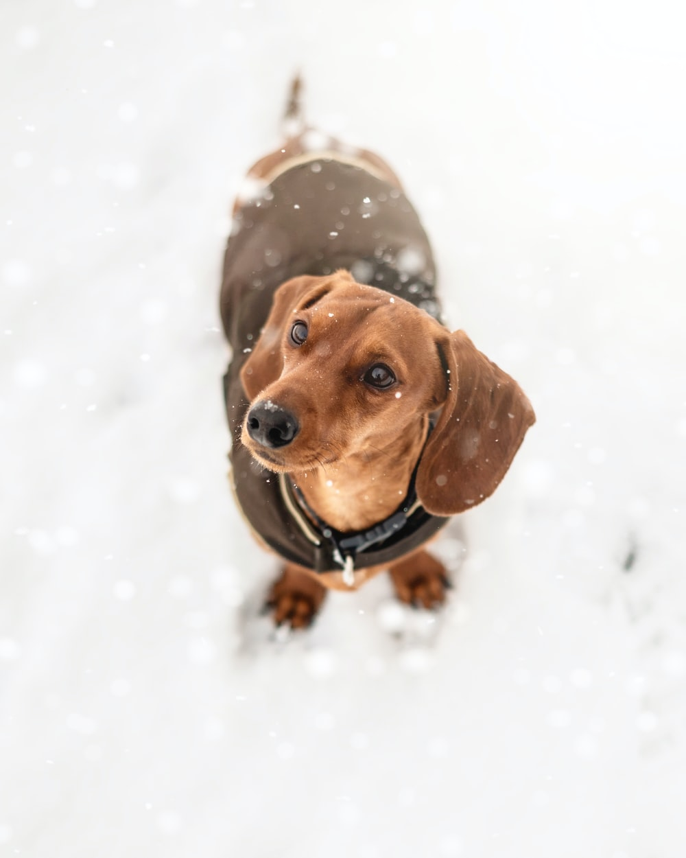 brown dachshund on snow covered ground during daytime