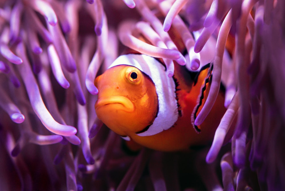 orange and white clown fish on purple and white plant