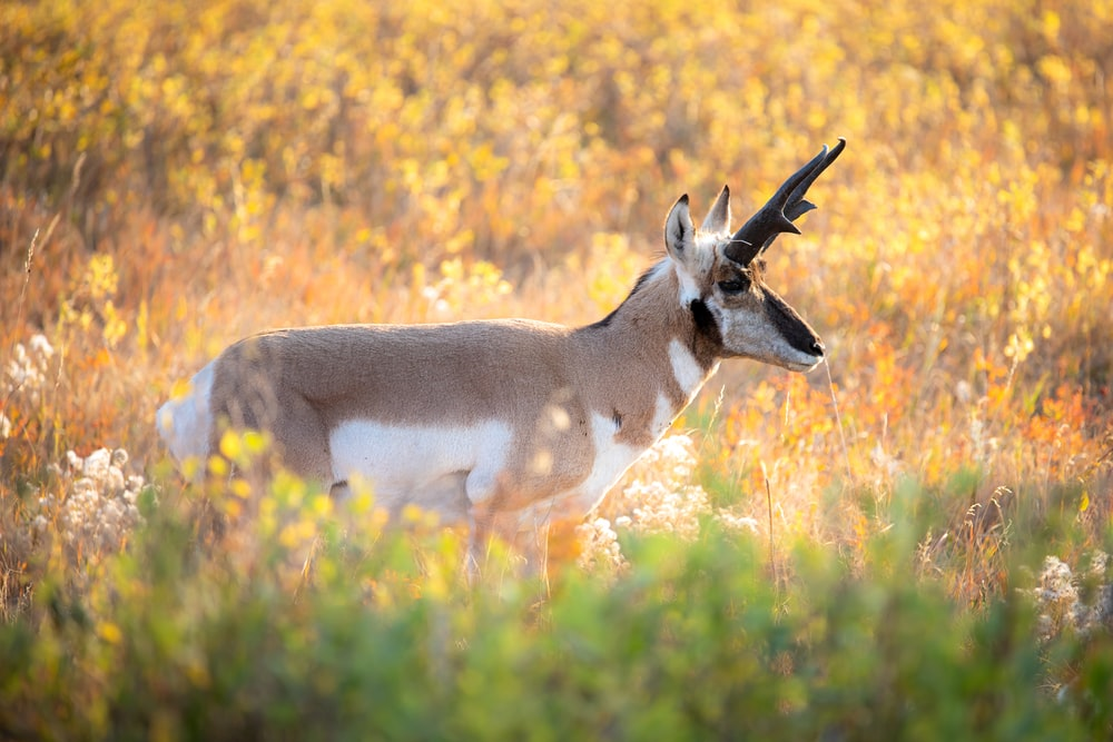 white and brown deer on yellow grass field during daytime