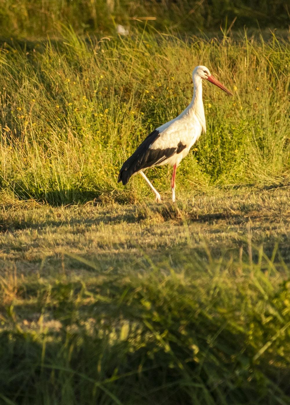 white stork on green grass field during daytime