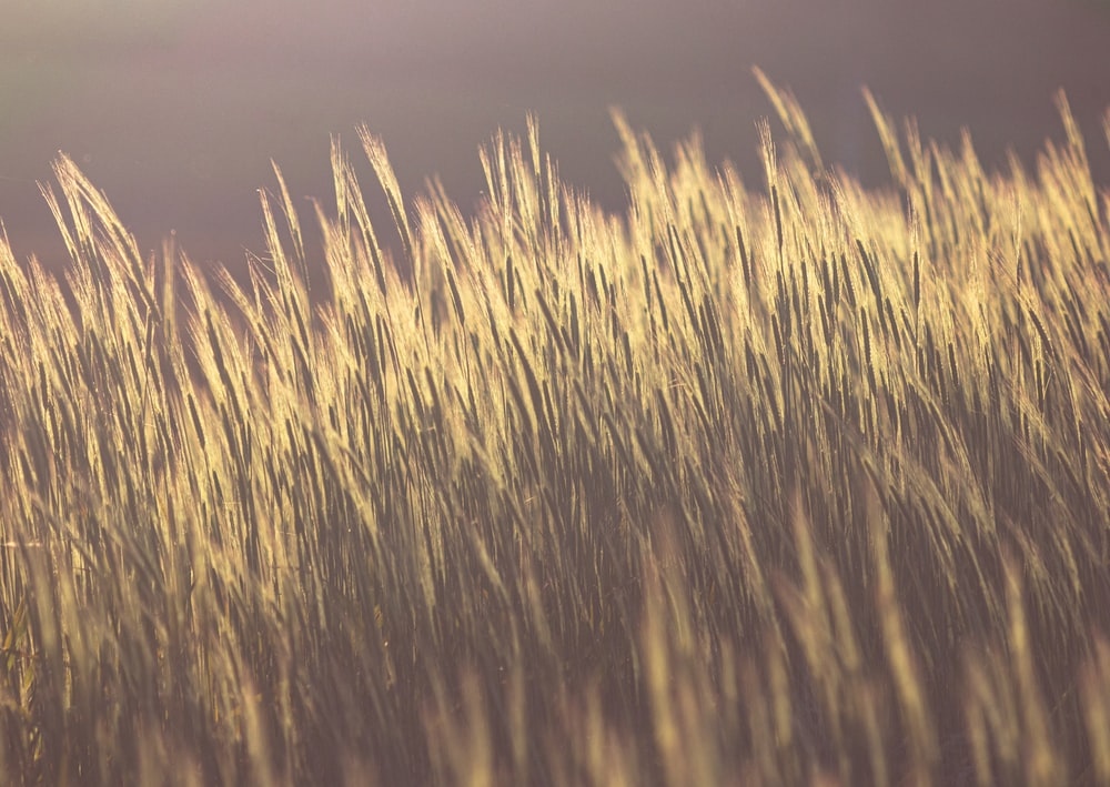 brown wheat field during sunset