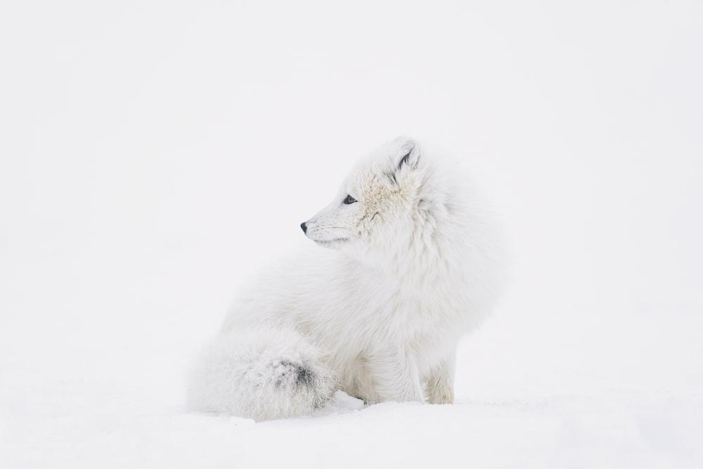 white fox on white snow