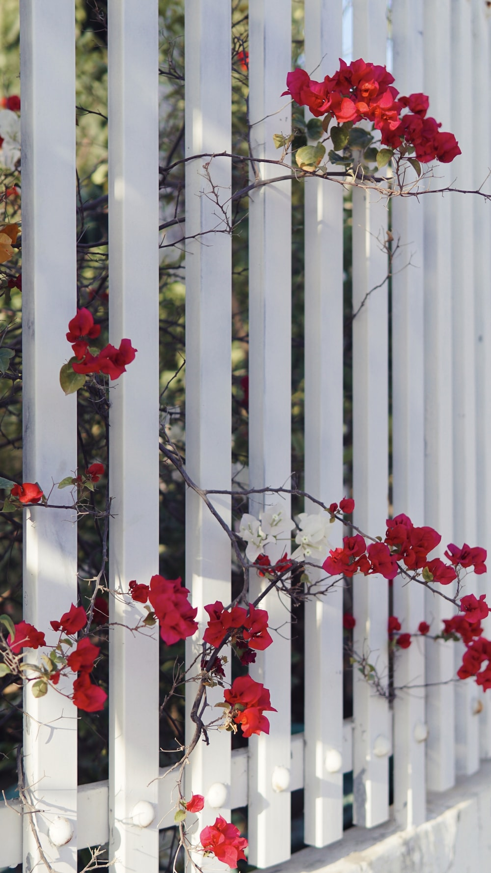 red flowers on white wooden fence