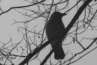 The Crow who spoke poetry stories