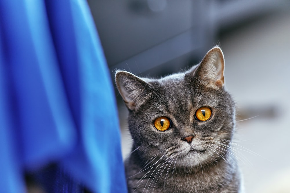 russian blue cat on blue textile