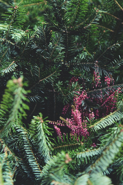 pink flowers on green pine tree