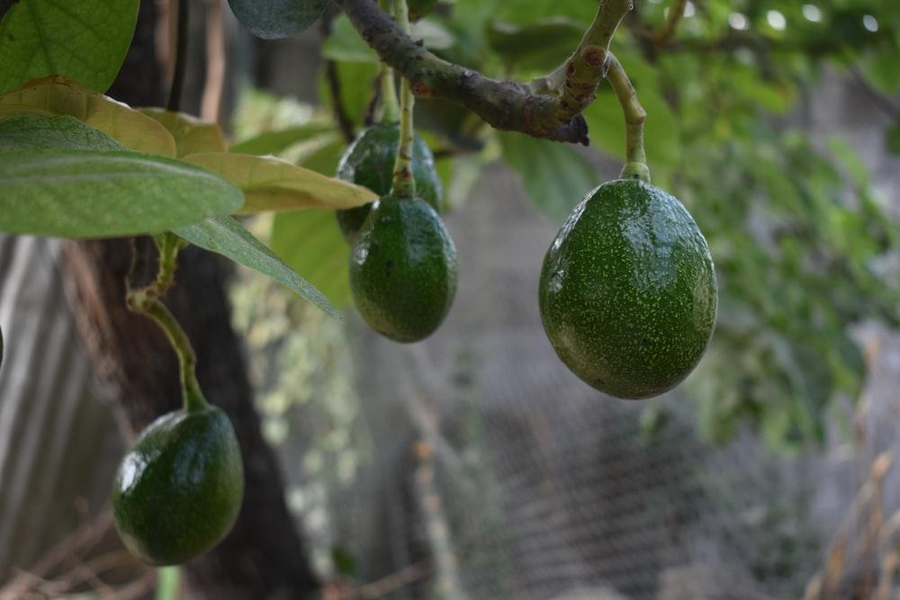 green fruit on tree branch during daytime, avocado tree, disease