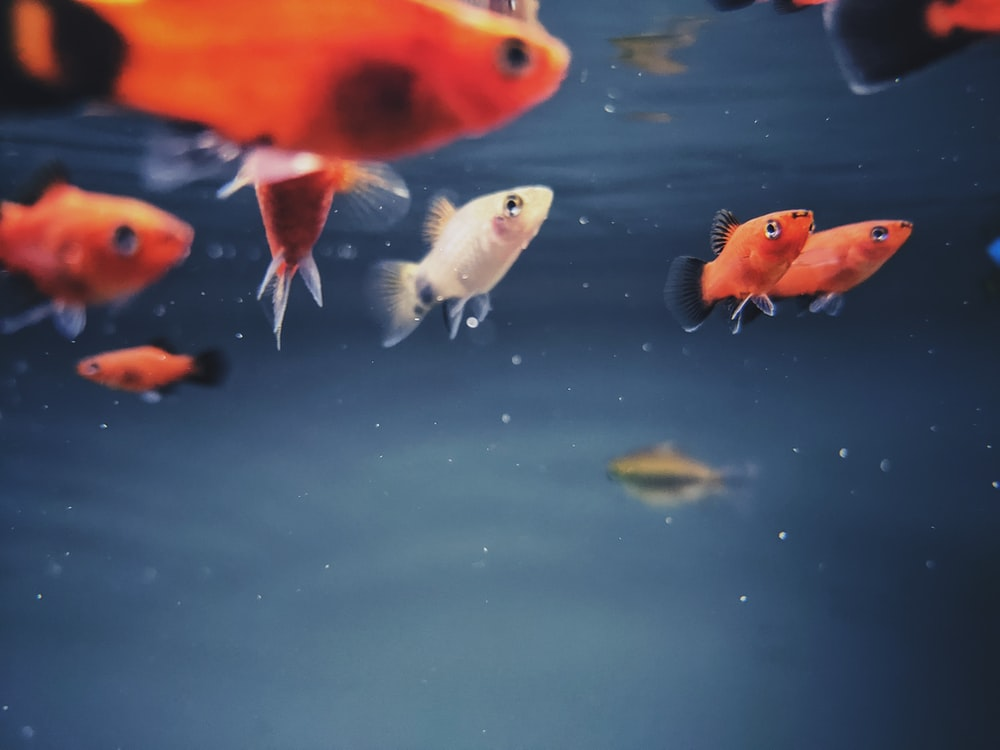 orange and white fishes on water