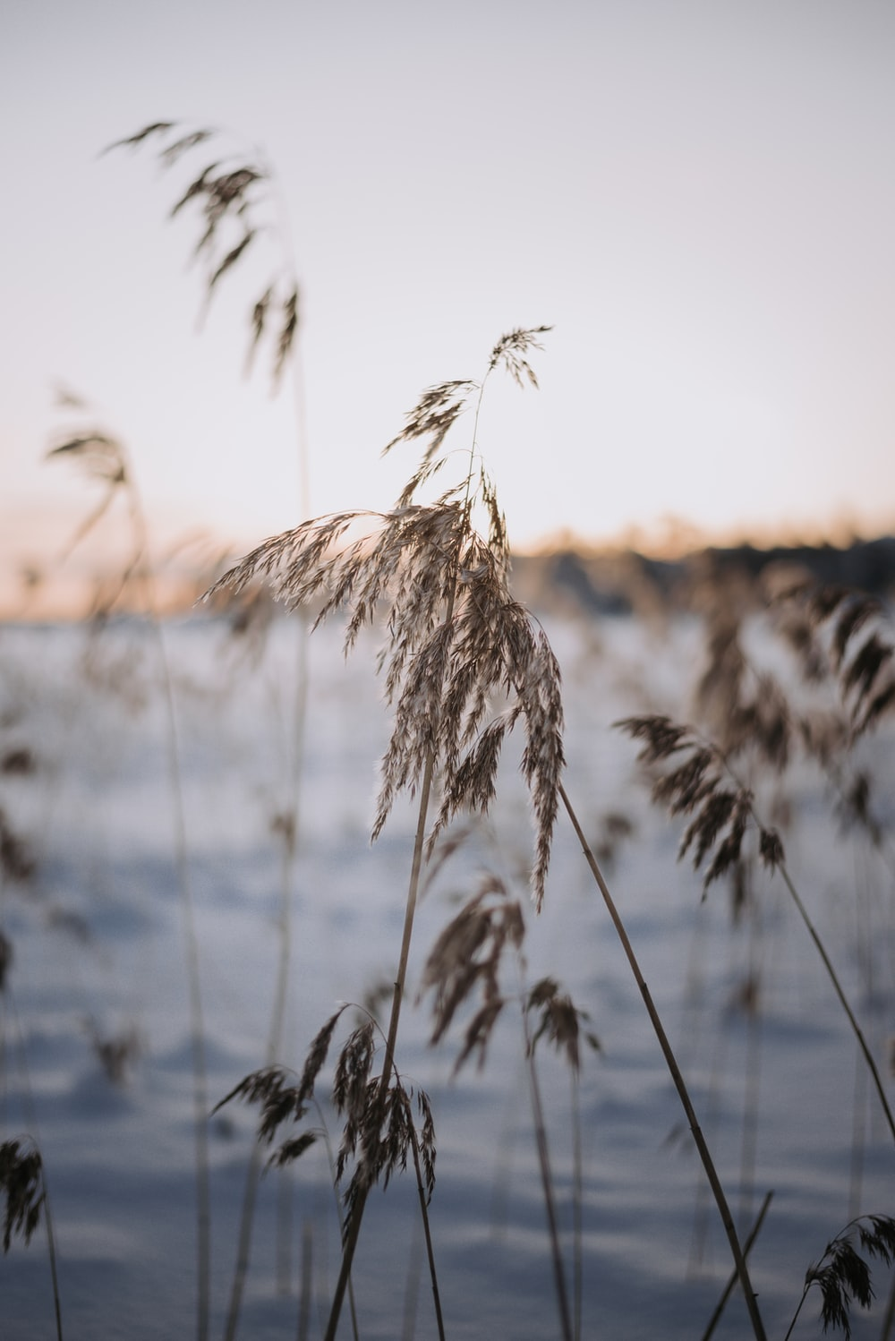 brown wheat plant during daytime