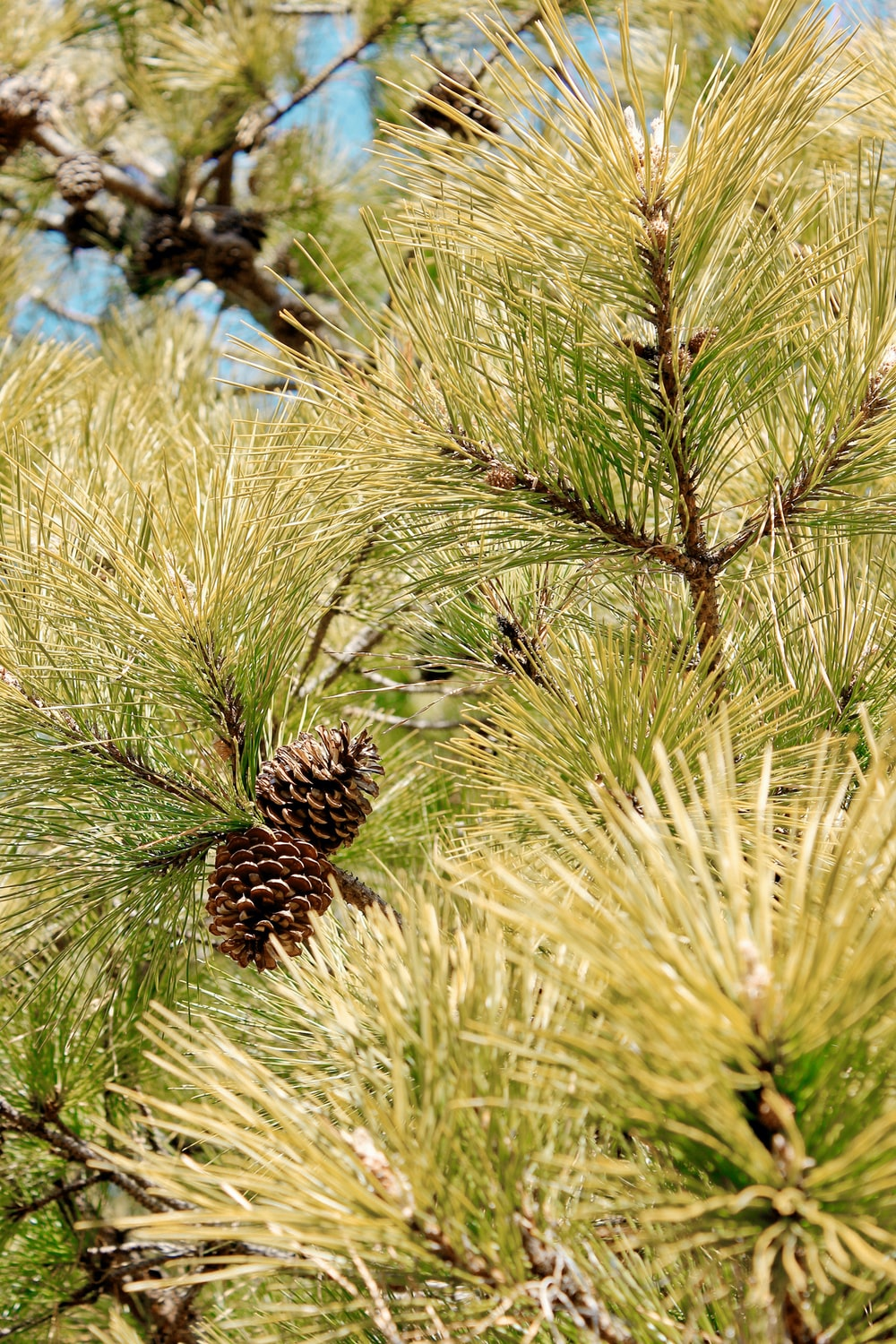 brown pine cone on green grass during daytime