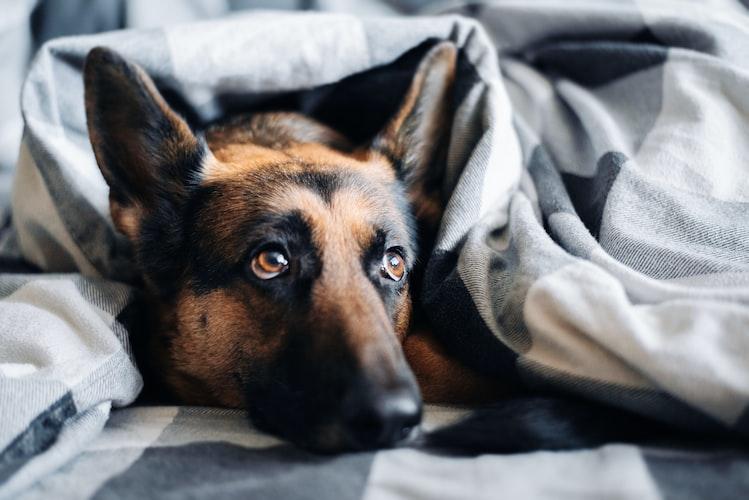 German Shepherd in blanket