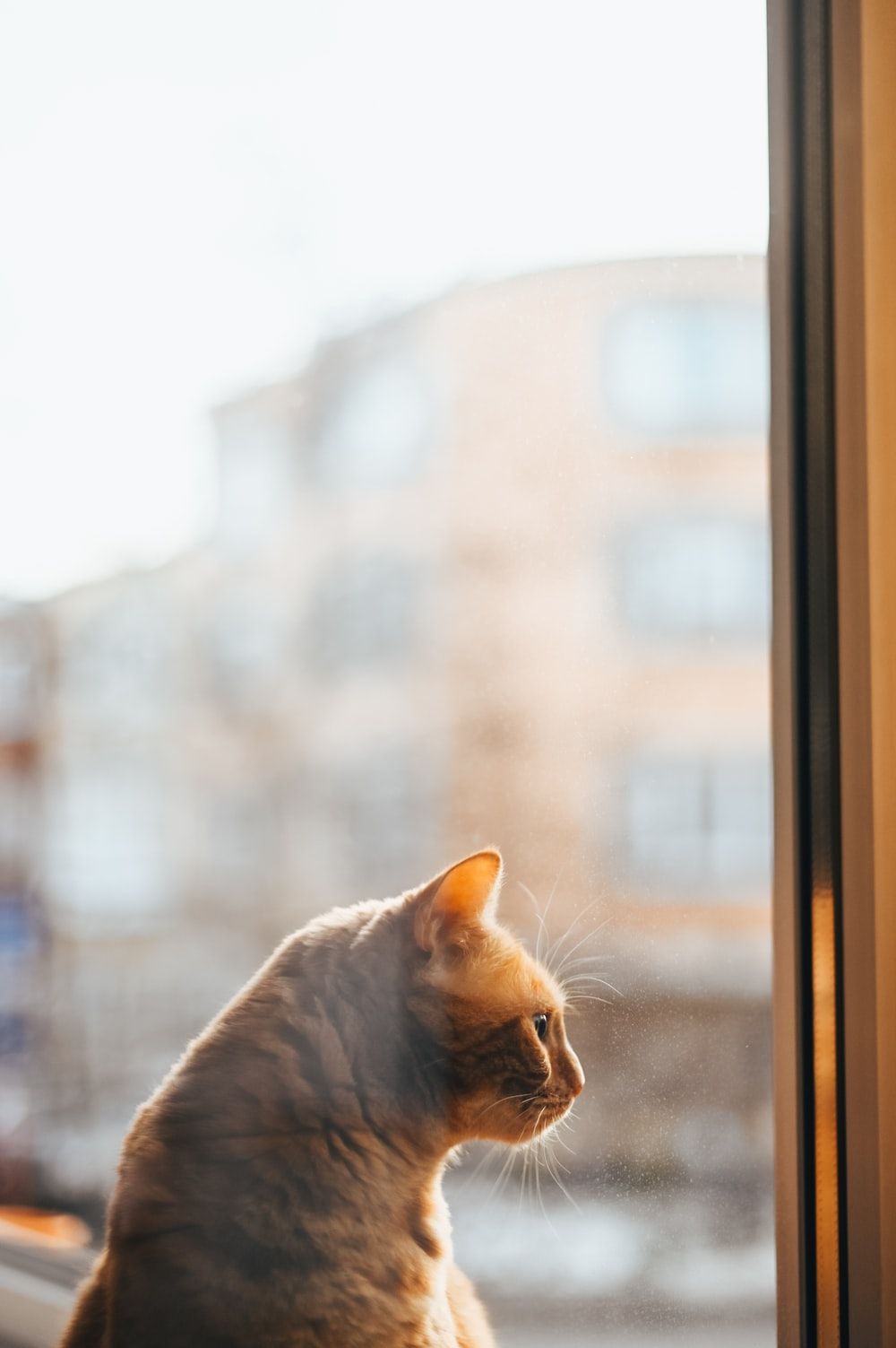 orange tabby cat looking out the window