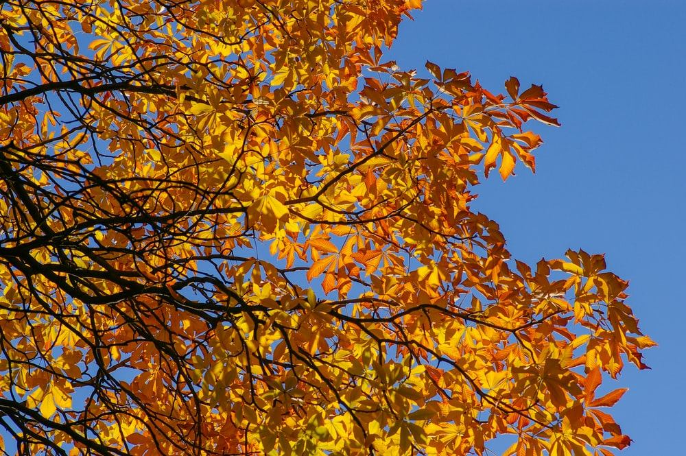 yellow leaves under blue sky during daytime