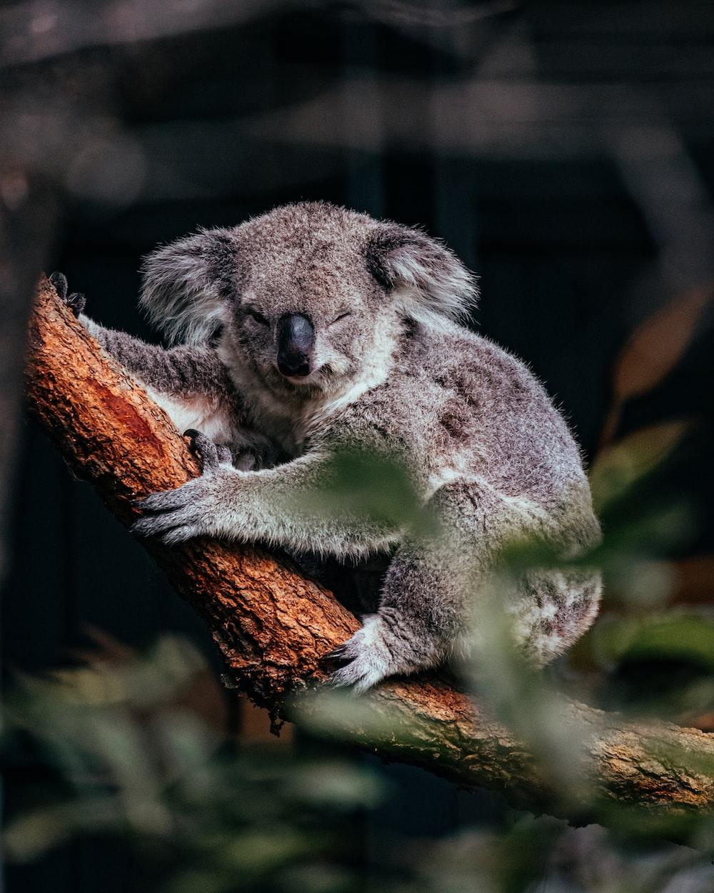 koala bear on brown tree branch
