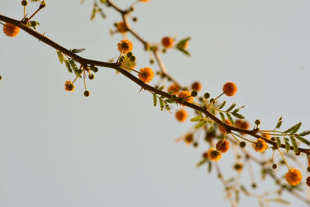 brown round fruits on brown tree branch