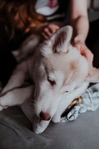white siberian husky lying on floor