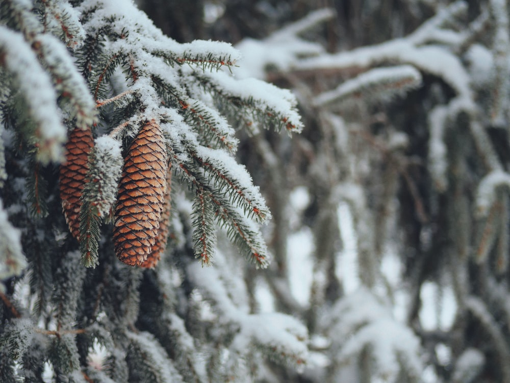 brown pine cone covered with snow