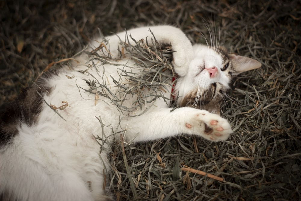 white cat lying on brown grass