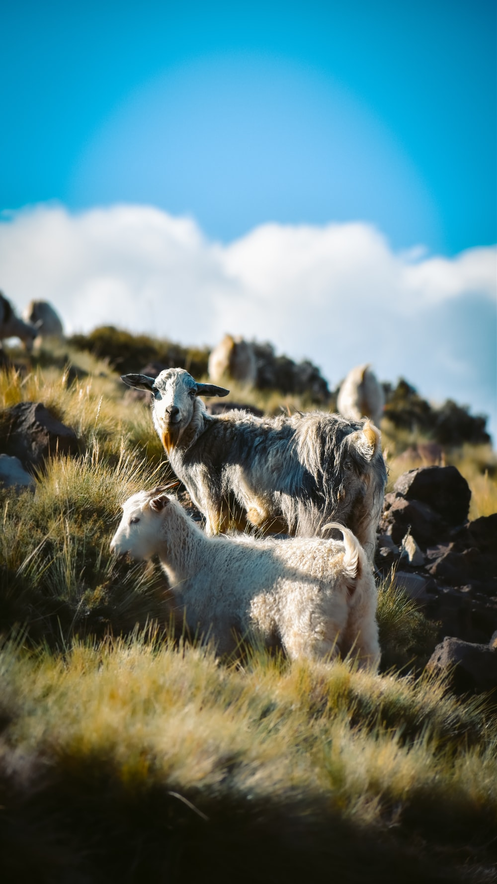 white and black goats on green grass field under blue sky during daytime