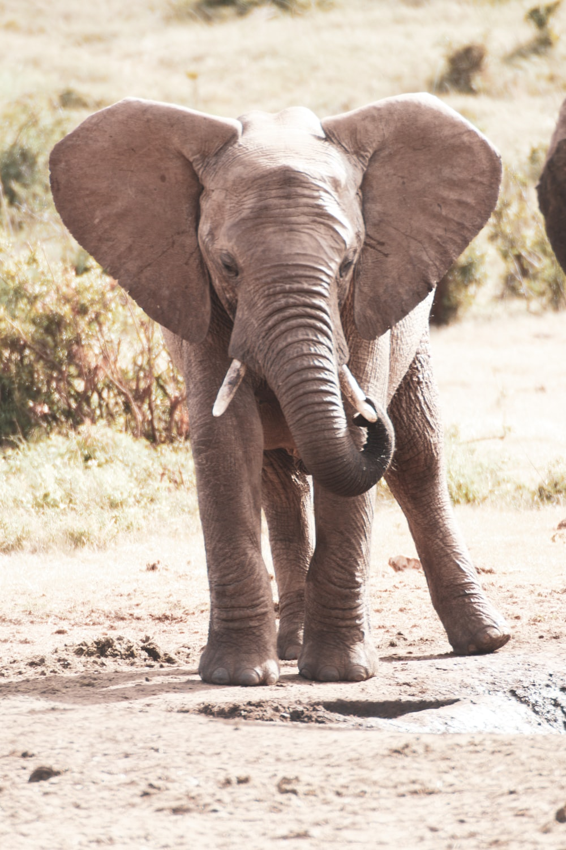 grey elephant walking on dirt ground during daytime