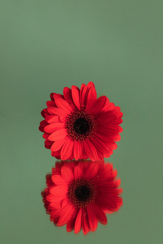 red gerbera daisy in bloom